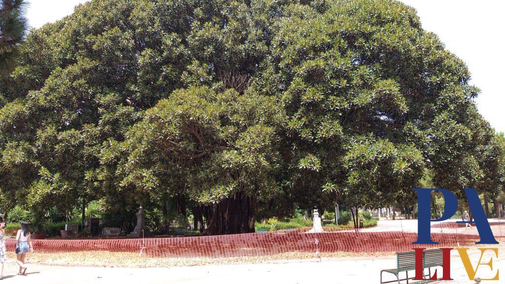 Ficus Giardino Inglese 1